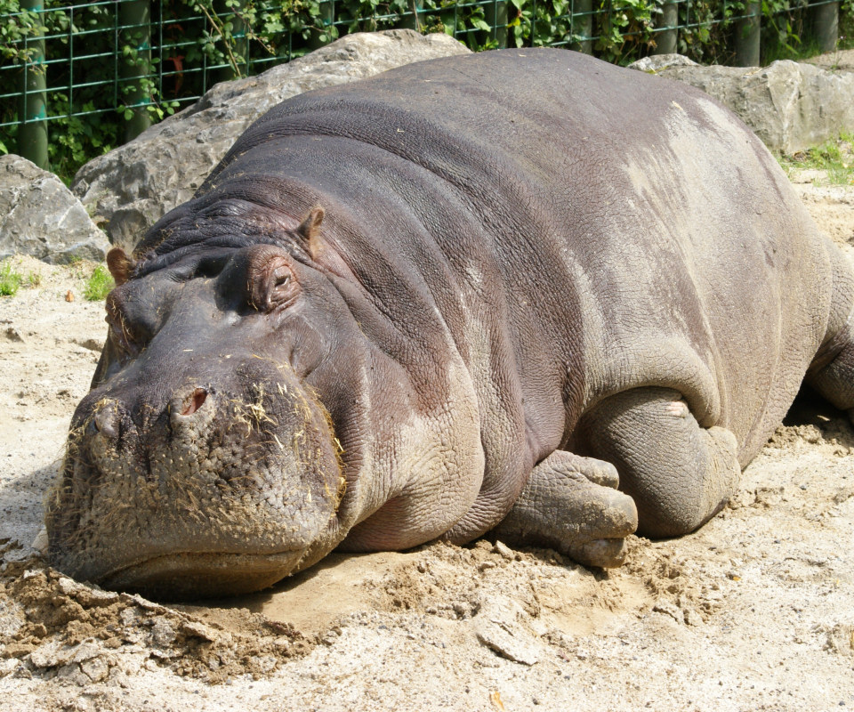 Fat Gloria The Hippo Pictures To Pin On Pinterest