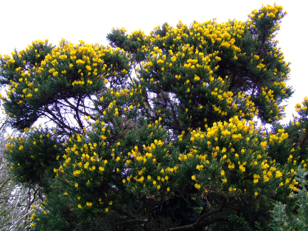 Gorse Bush Photos / Desktop Backgrounds / Wallpaper
