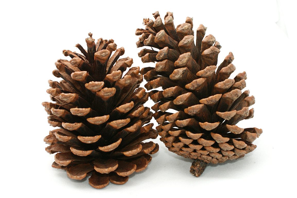 Christmas Pine Cone Drawing Viewing Gallery