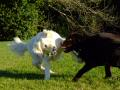 Labrador And Retriever Playing (It may look like fighting but they are only playing)