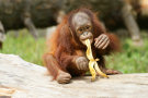Orangutan Eating A Banana
