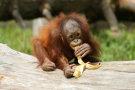 Orangutan 3