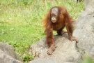 Orangutan 6