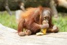 Orangutan 9