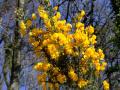 Wild Yellow Gorse (Close Up)